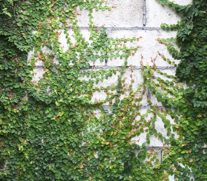 Climbing Plants Covering Cinder Block Wall