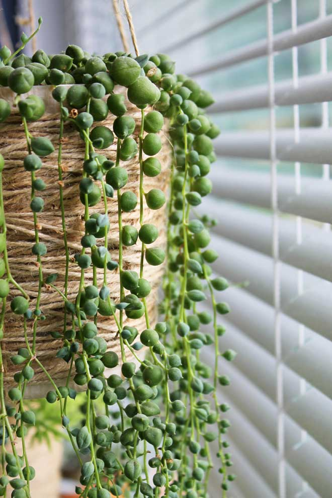String of Pearls in DIY Twine Hanging Pot