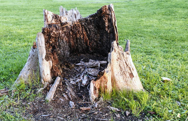 Big Rotting Tree Stump