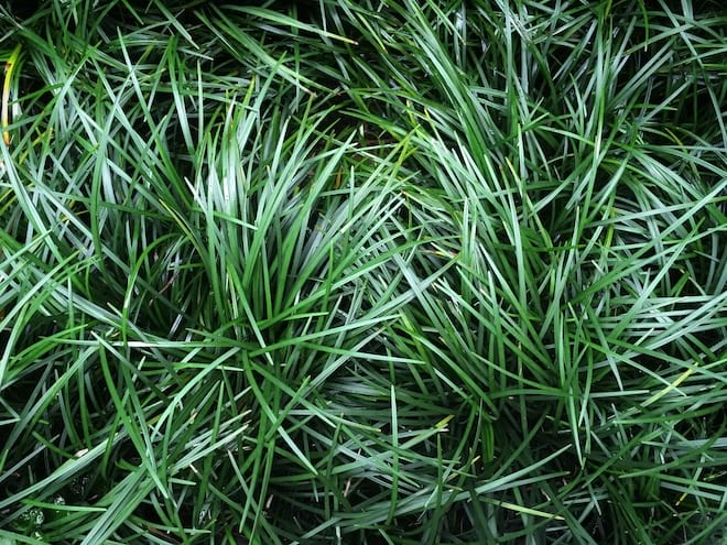 Close Up of Dwarf Mondo Grass