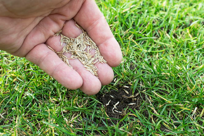 Grass Seed in Hand